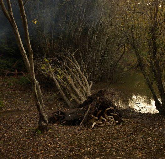 Fallen Willow (Salix) in Autumn.