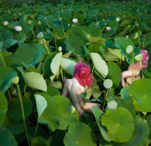 Sacred Lotus (Nelumbo Nucifera) in Summer.